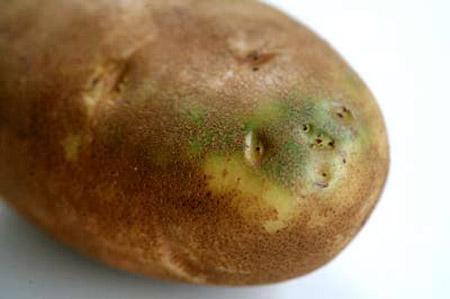 ziemniak z -solaniną