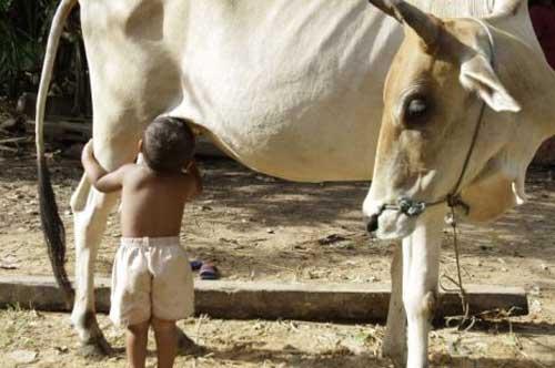 dziecko pije mleko od krowy