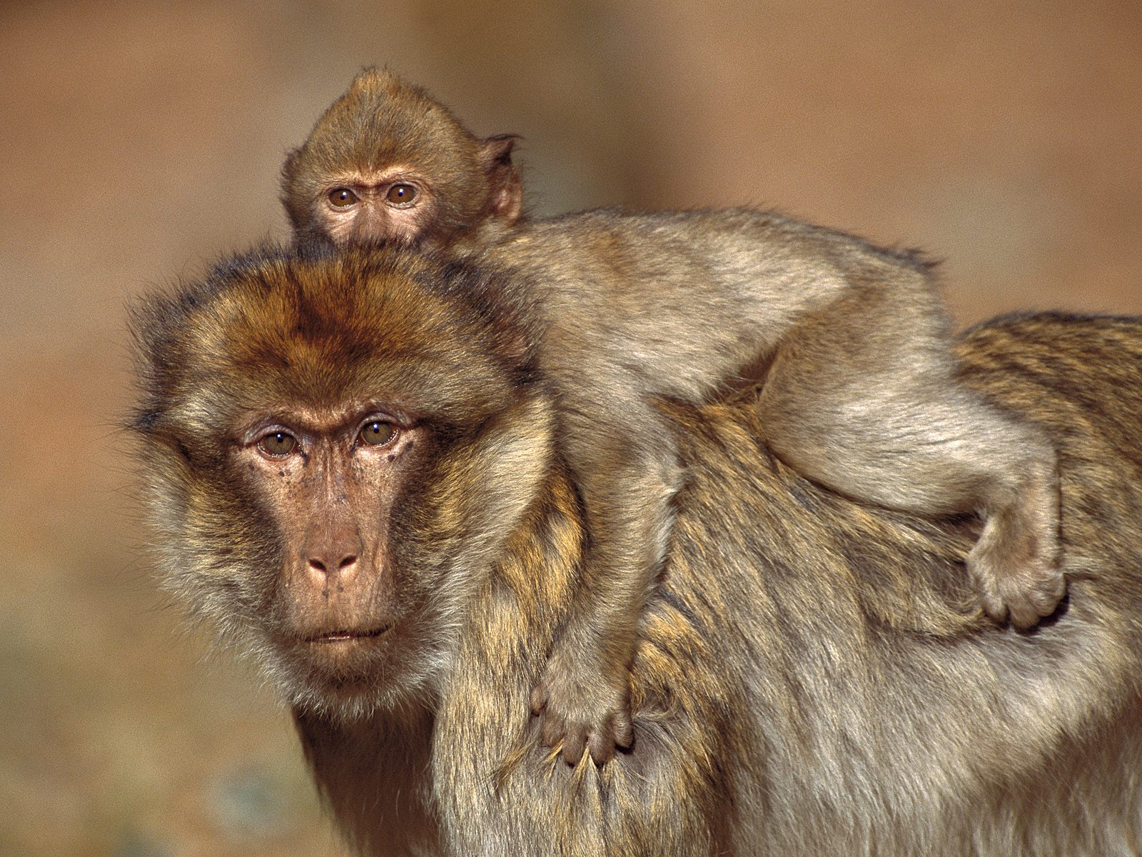 baby-monkey-with-his-mother-holding-her-on-back-pictures-1600x1200