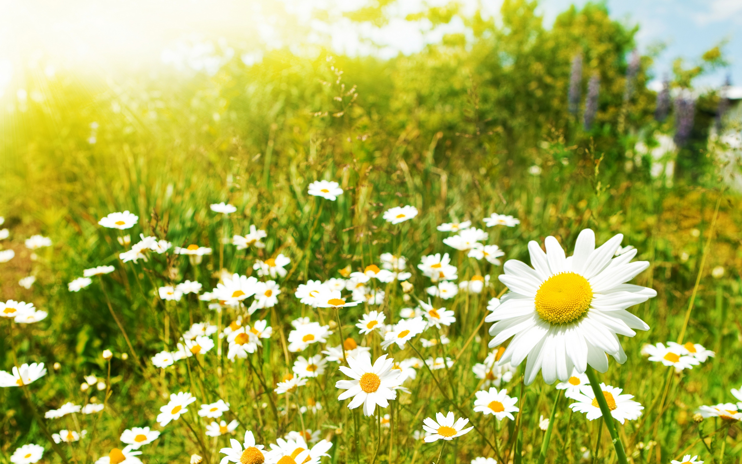 2012-mother-s-day-beautiful-flower-camomile-meadow_2560x1600_97315