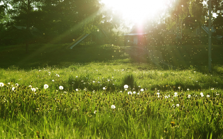 łąka dandelion-meadow
