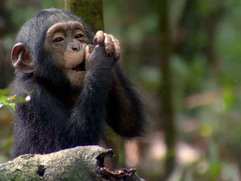Oscar, the chimp at the centre of the Disney Nature film Chimpanzee