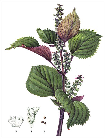 periila frutescens