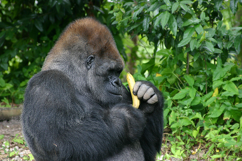 gorilla-eating-banana