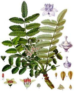 LC Boswellia% 20