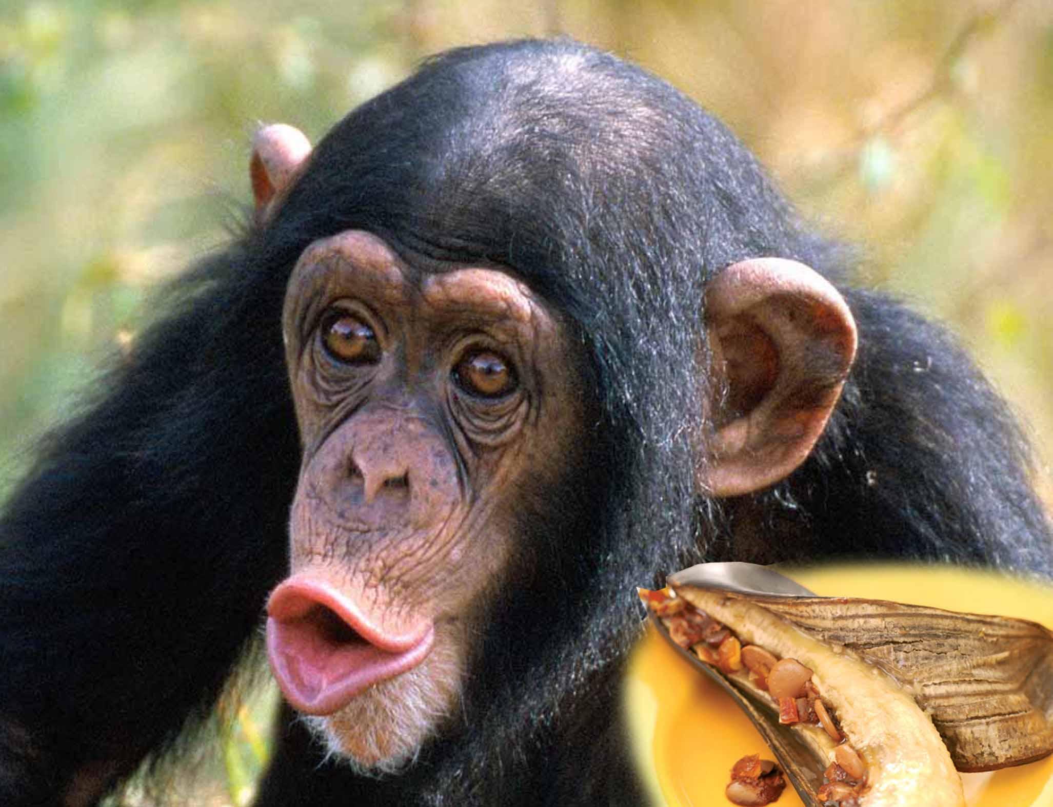 szympans facio
